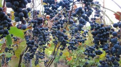 Статья 24.1. Саморегулируемая организация виноградарей и виноделов